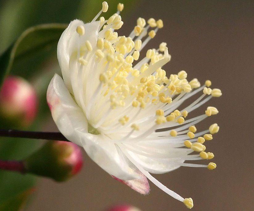 23 Gorgeous Flowers At The Jerusalem Botanical Gardens Myrtle Flower Beautiful Flowers Botanical Gardens