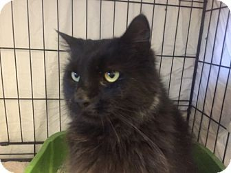 Warwick Ri Domestic Longhair Meet Maverick A Cat For Adoption Cat Adoption Cat Shelter Kitten Adoption