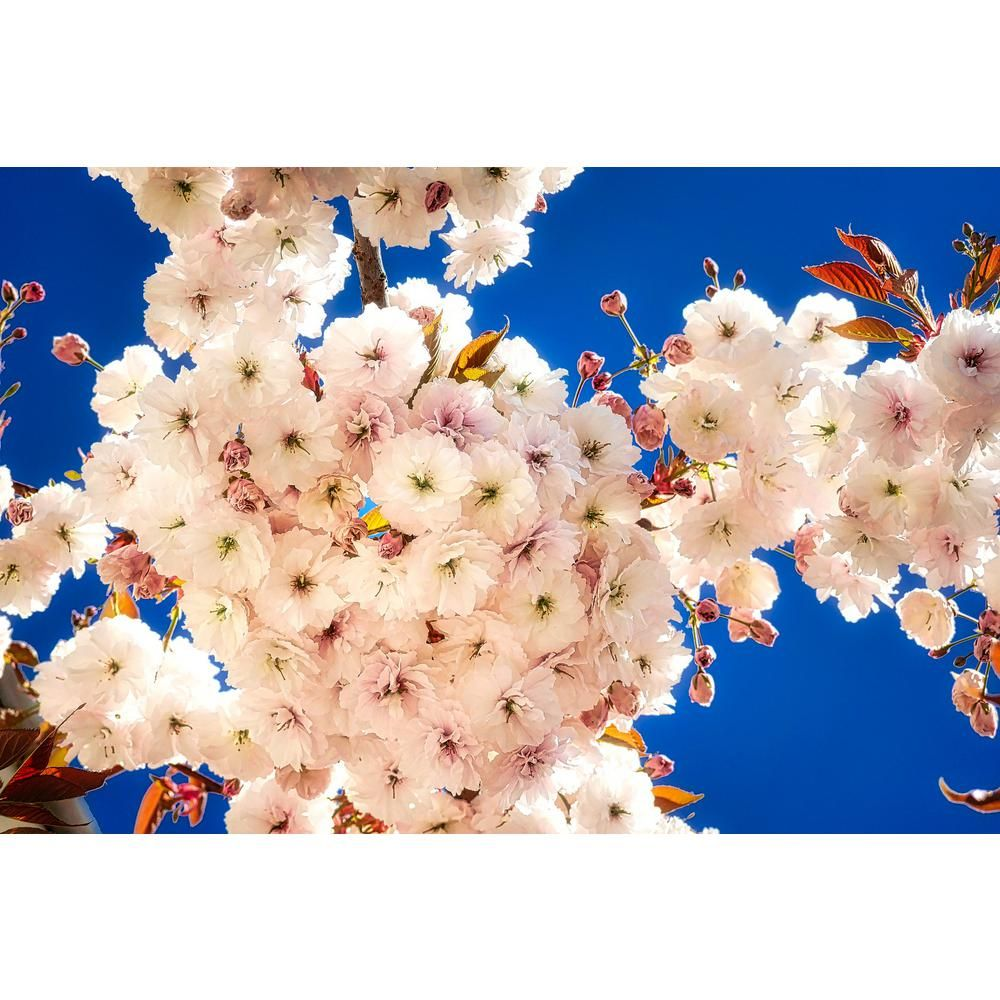 Online Orchards Mt Fuji Cherry Blossom Tree Bare Root Flch005 The Home Depot Cherry Blossom Tree Blossom Trees Annual Flowers