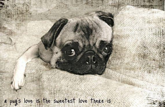 A Pug S Love Pug Love Pug Photos Pugs