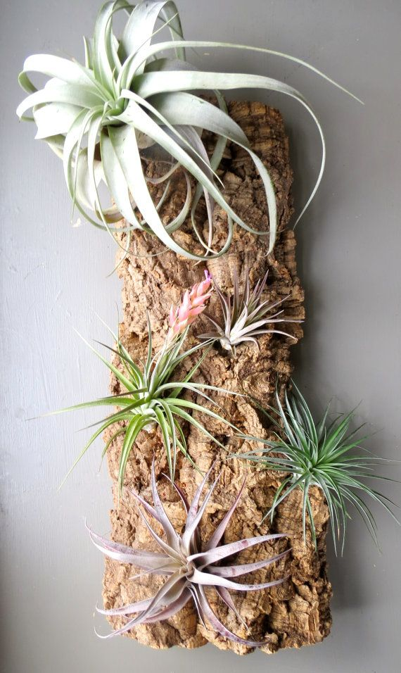 Vertical garden with 5 exotic air plants on cork bark l for Air plant wall hanger