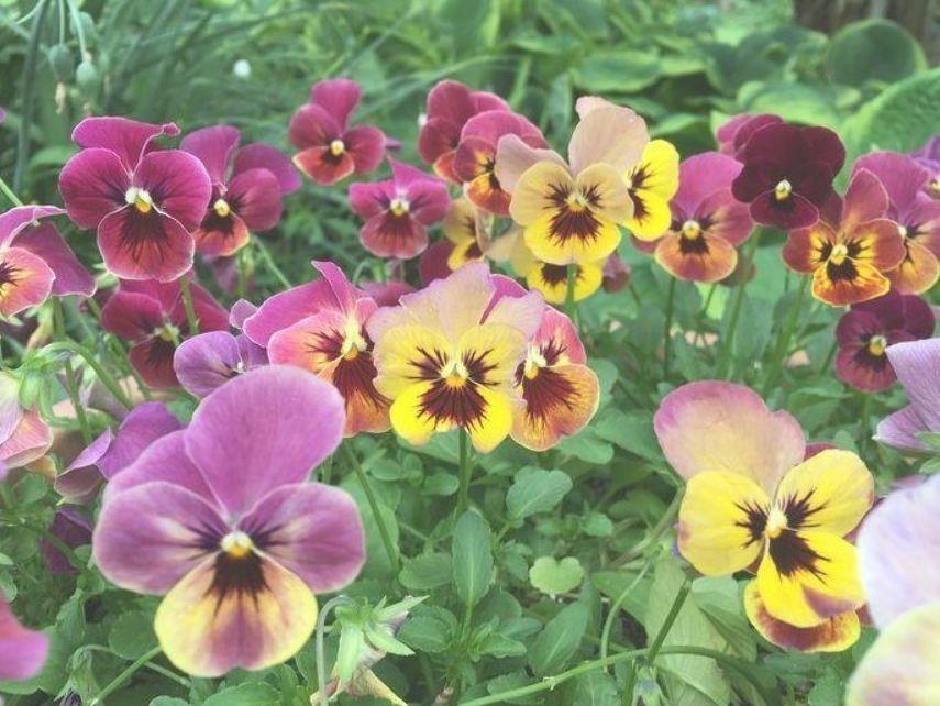 Pansy Pansies Flowers Hardy Flowers Flowers For Beginners Garden Flower Ideas Garden Ideas Pansy Pa Pansies Flowers Winter Pansies Viola Flower