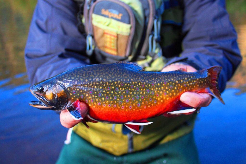 Beautiful brook trout.   Brook trout, Freshwater fishing ... - photo#13