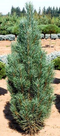Pinus sylvestris ' Fastigiata ' Narrow Columnar Scot's Pine