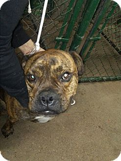 cleveland, OH Boxer Mix. Meet Rocky, a dog for adoption