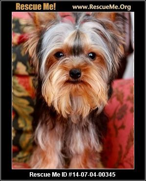 Mississippi Yorkie Rescue Adoptions Rescuemeorg Safe Adopted