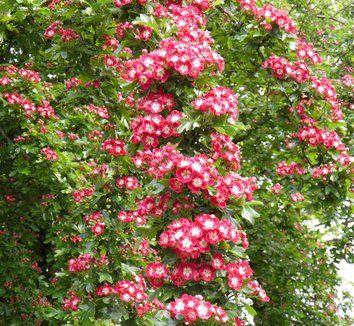 Crataegus Laevigata Crimson Cloud 1 Flower Con Immagini