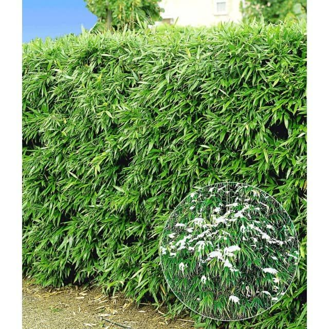 winterharte bambus-hecke, 5 pflanzen - baldur-garten gmbh | wohnen, Garten ideen