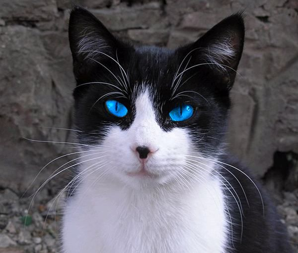 Animals Google Search Cat With Blue Eyes White Cats Cute Black Kitten