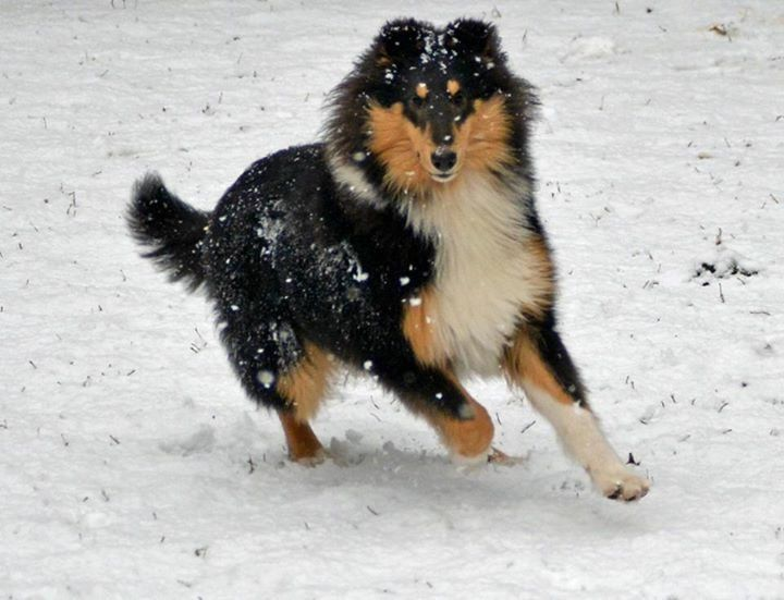 Pin By Cindy Dorsten On Collies Rough Collie Collie Dog Dog Face