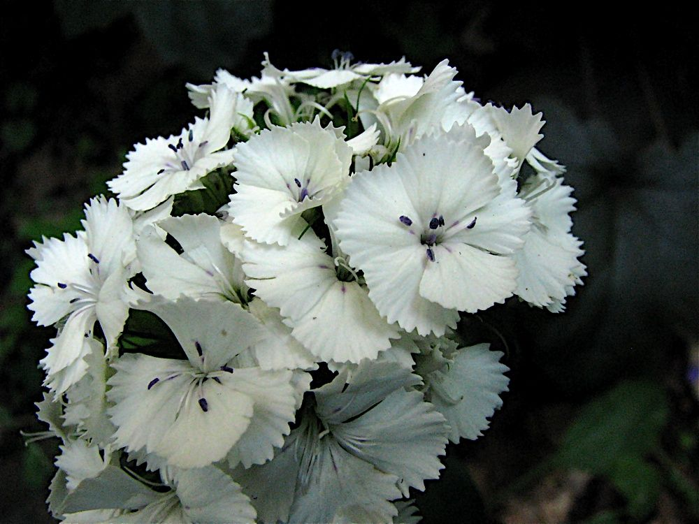 Sweet william white dianthus house and garden pinterest house sweet william white dianthus mightylinksfo