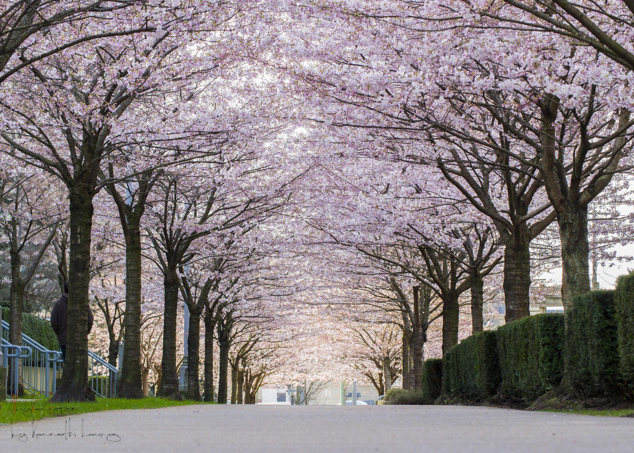 A Guide To Vancouver S Cherry Blossoms Cherry Blossom Festival Canada Photography Cherry Blossom Season