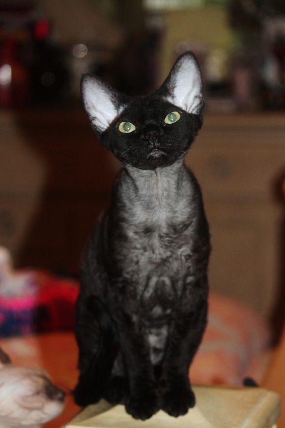 Devon rex kittens for sale in spring hill fl chat - Chaton devon rex ...