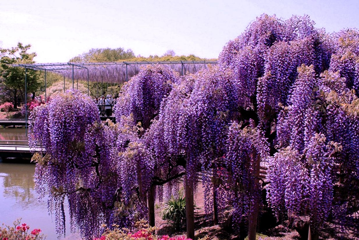 Image result for wisteria