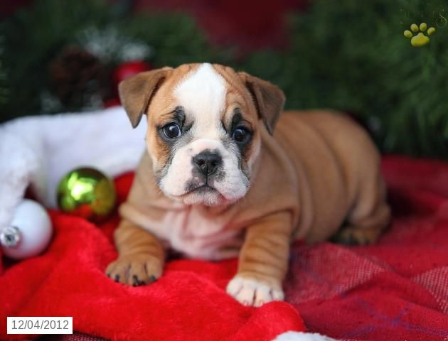 Shelly English Bulldog Puppy For Sale In East Earl Pa English