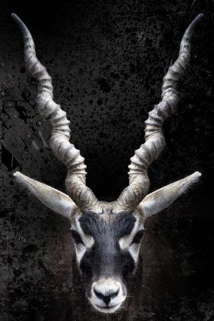 Blackbuck, what a picture    Beautiful !!! \O/
