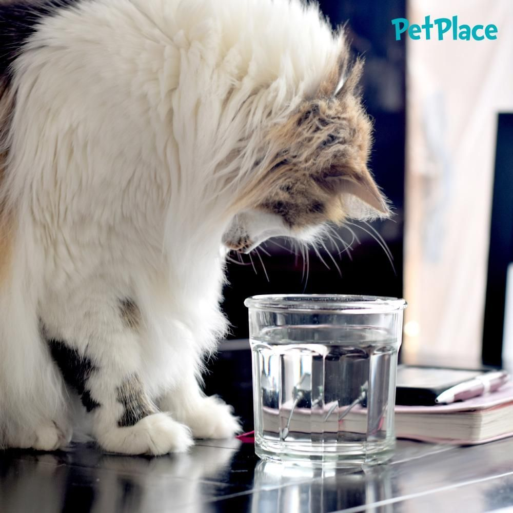 Do You Know Why Water Is So Important For Your Cat Cuidado Del Gatito Gatos