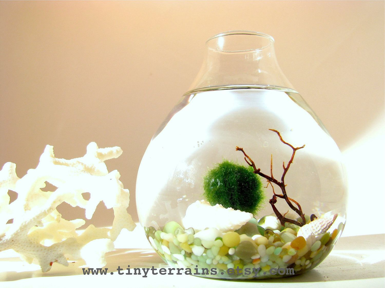 Free 2nd marimo ball included marimo moss ball teardrop for Moss balls for fish tanks