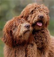 Contact Us Tasmanian Labradoodles Labradoodle Dogs Breeders