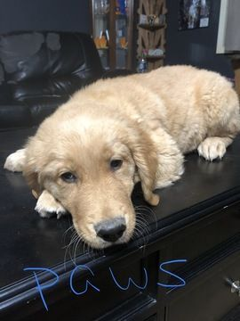 Litter Of 4 Golden Retriever Puppies For Sale In Benton Ar Adn