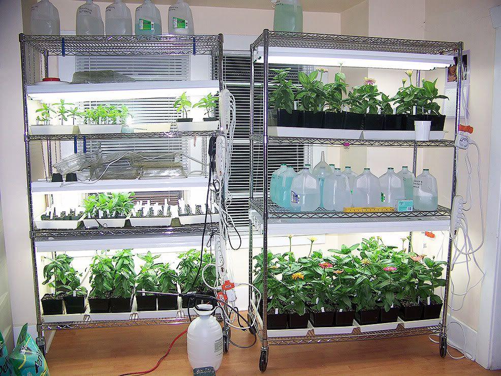 Indoor shelving with grow lights. Microgreens Growing