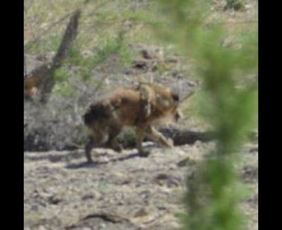 paranormal large dog seen several times on Skin Walker Ranch - near