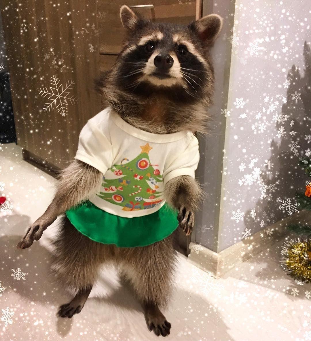 Pin by Raccoons on Raccoons Pet raccoon, Baby raccoon
