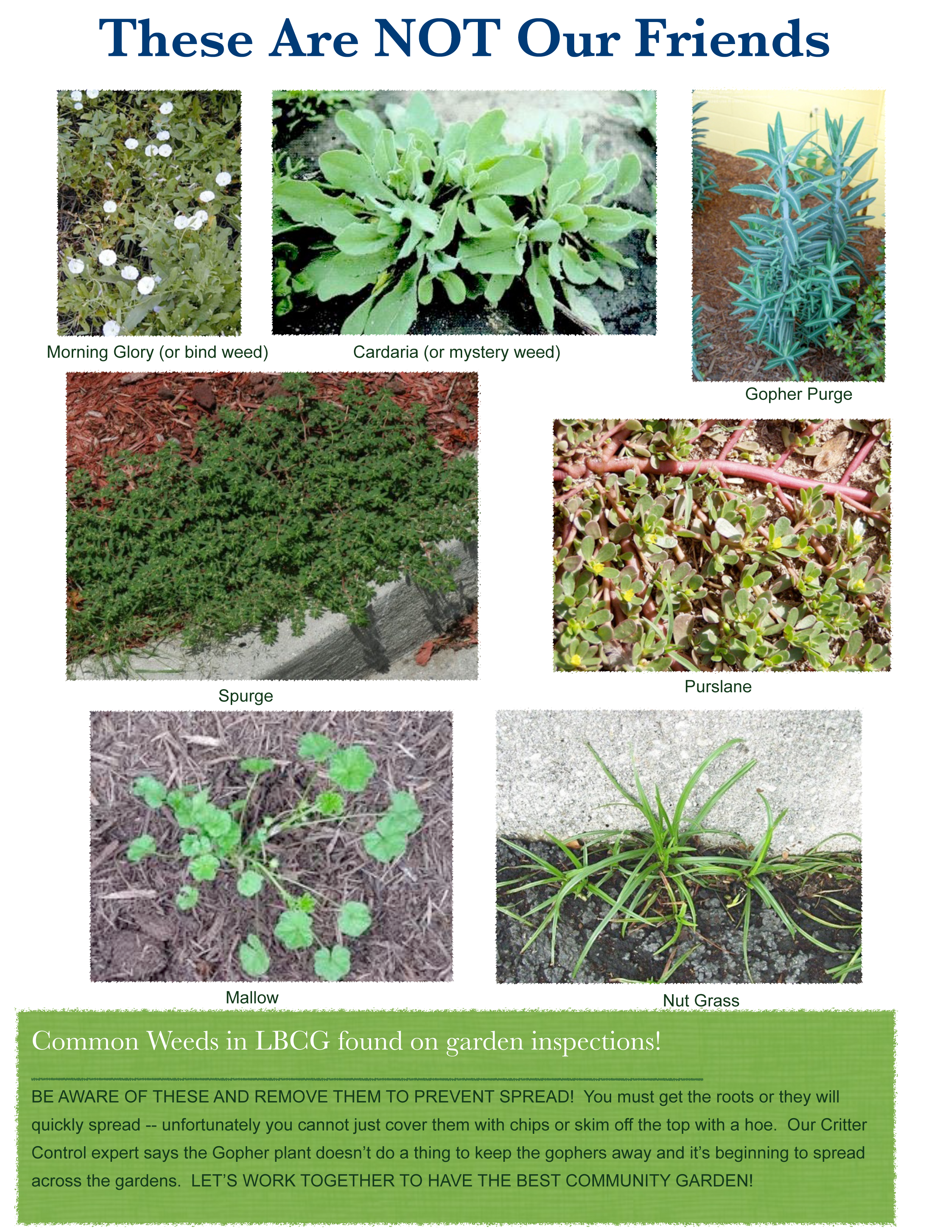 Weeds in flower beds with potato like roots - Long Beach Community Garden Association Inc Common Weeds
