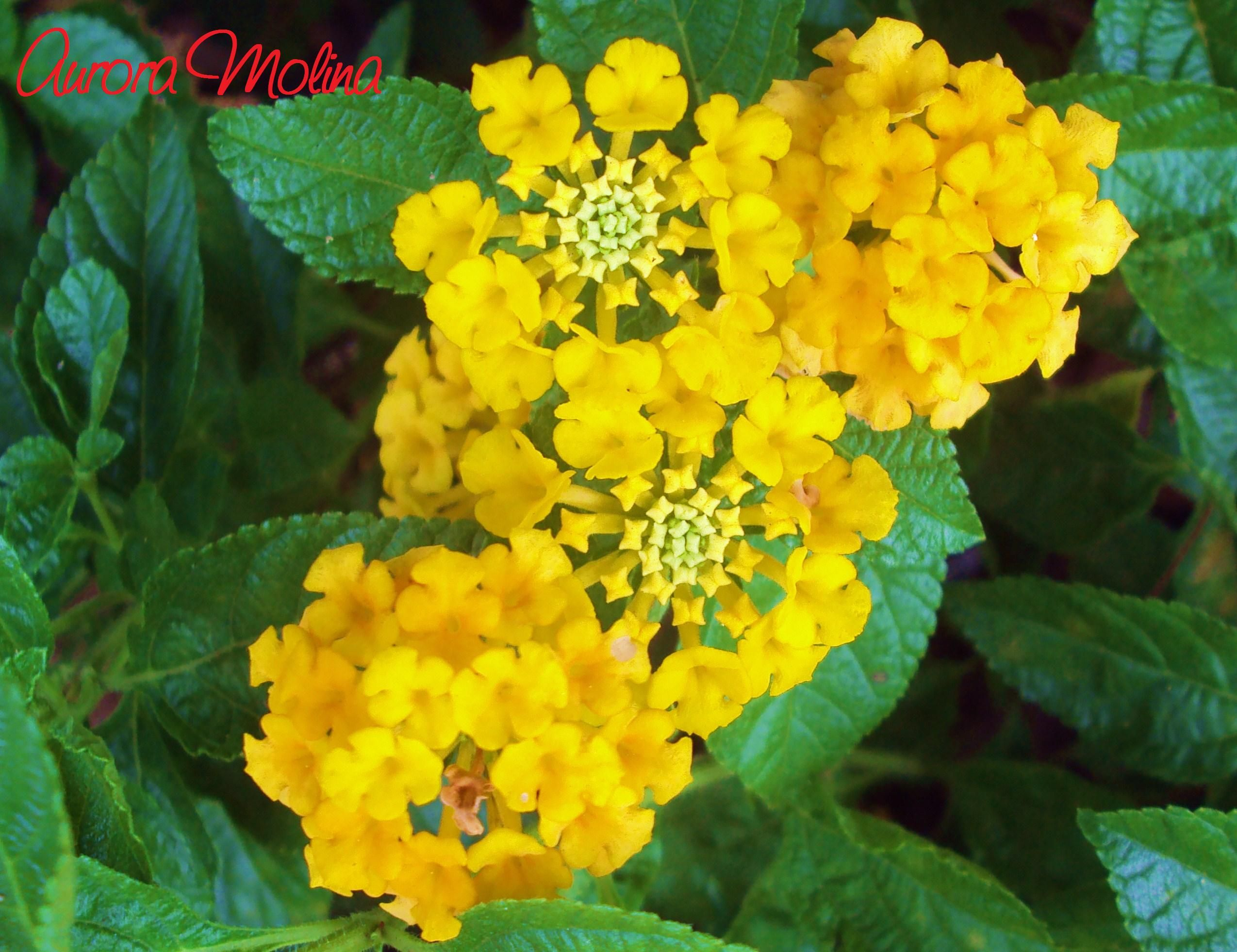 Lantana Camara Also Known As Spanish Flag Or West Indian Lantana These Delicate Flowers Are Butterfly Magnets It Has Lantana Camara Lantana Delicate Flower