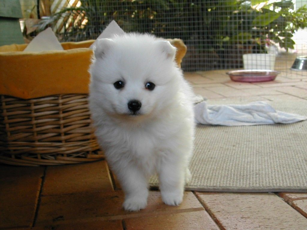 White Small Fuffy Dog Dog Breeds Wallpaper Description From Dog Breeds Small White Fluffy Japanese Spitz Puppy Japanese Spitz Spitz Puppy