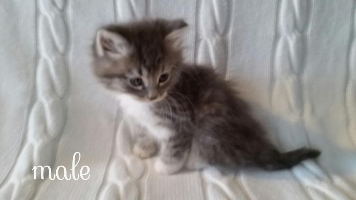 Fluffy Baby Blue Kittens Ready Now in Roseville, Michigan
