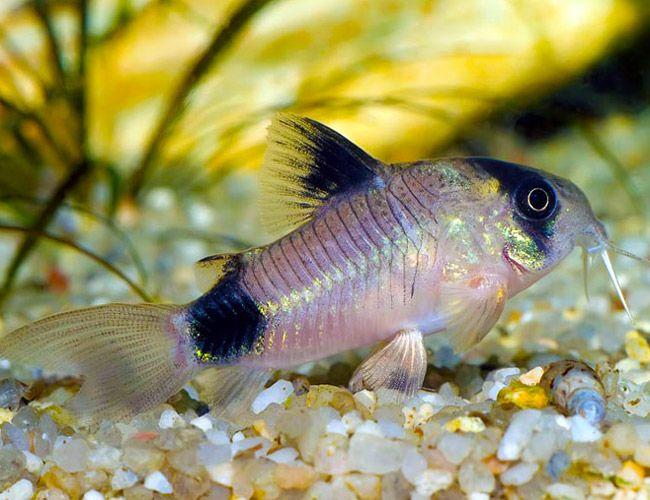 Super cute my favorite dwarf panda cory catfish for Cory cat fish