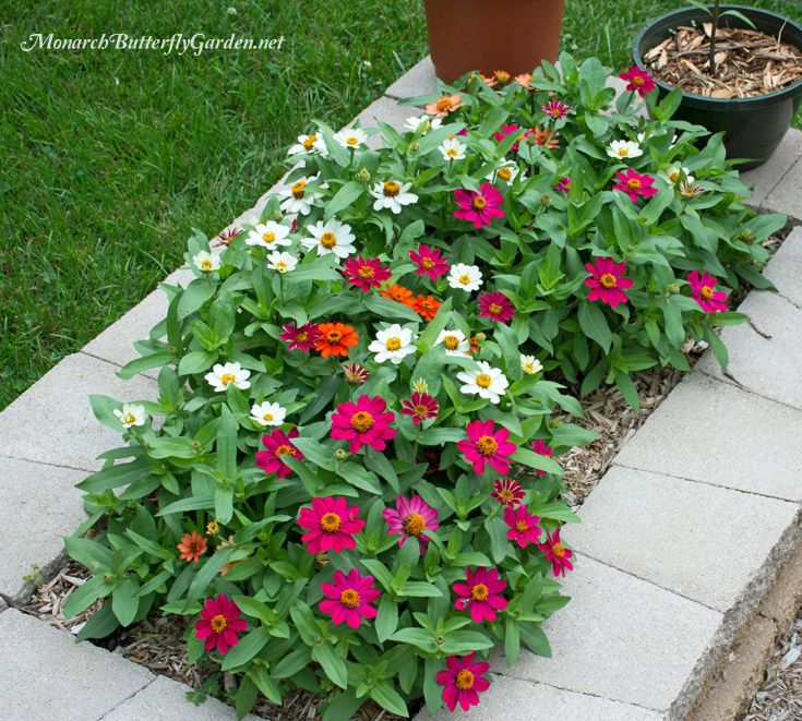 Butterfly plants list butterfly flowers and host plant for Low growing plants for flower beds