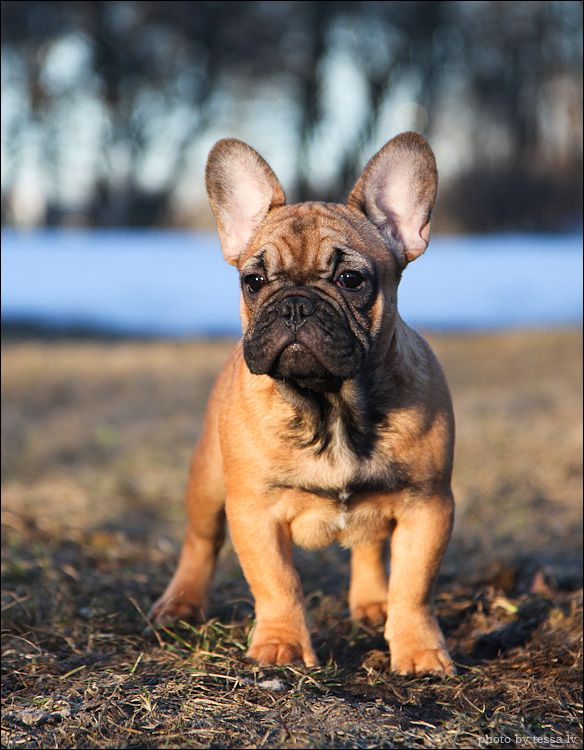 Best 25 Fawn French Bulldog Ideas On Pinterest Cream