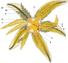 diagram of starfish anatomy aboral view of partially dis