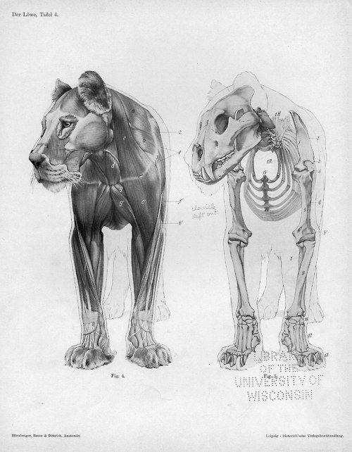 Músculos y huesos de un León. | Dibujo naturalista, y anatomía ...