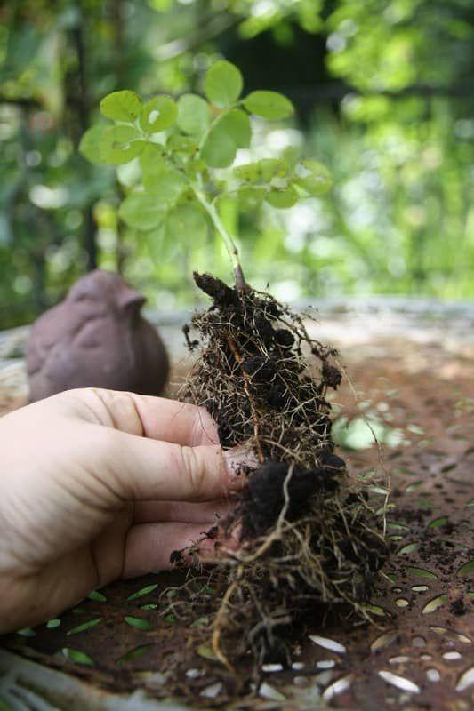 Bouturer les rosiers quand et comment astuce jardinage pinterest garden plants et flowers - Quand couper les rosiers ...