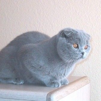 Breeding Healthy Scottish Fold Cats Cat Scottish Fold Scottish Fold Cattery