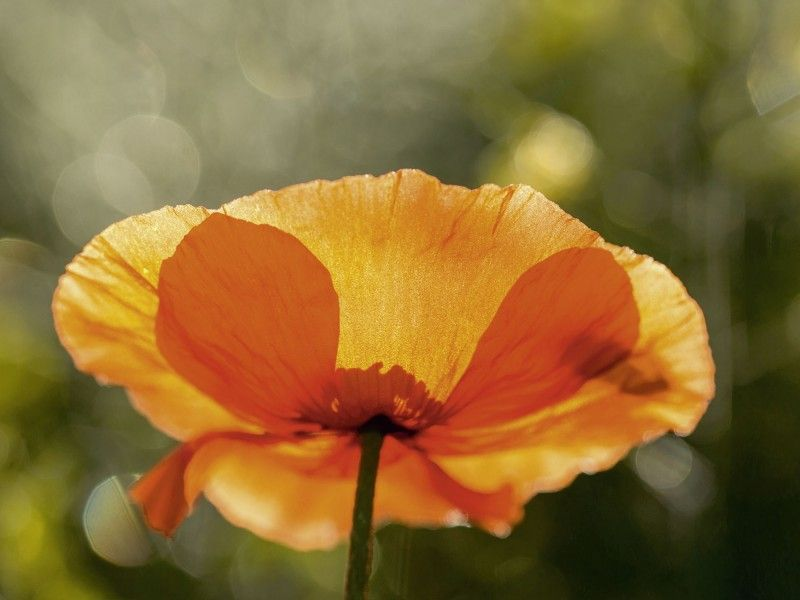 Andrea Potratz: Mohnblume im Gegenlicht - Glasbild 60 x 80 cm