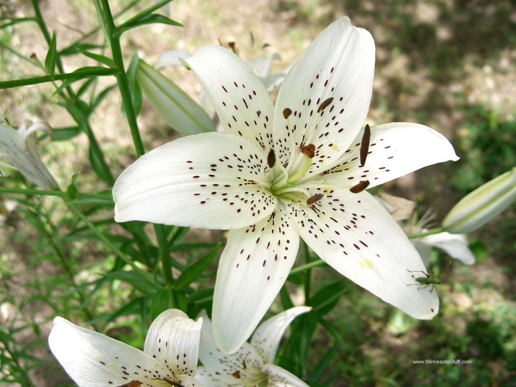 Pin By Yza Fujiko On White Flowers Pinterest Lily Flowers And