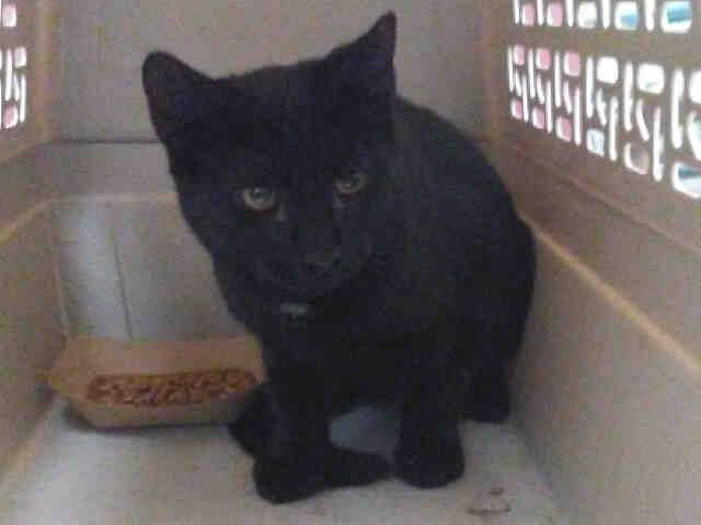 PASTRY - A1092045 - - Staten Island  ***TO BE DESTROYED 10/13/16***PASTRY is a good name for this cute black cat with a tiny bit of white on his chest, because he's a sweetie! He is a male, around 2 years old, who was found as a stray and brought to the shelter in search of a better life. Time is running out for this sweet guy. He's on tomorrow's list to be killed at the shelter if he's not rescued. This little guy is small, which is possibly why they keep referring