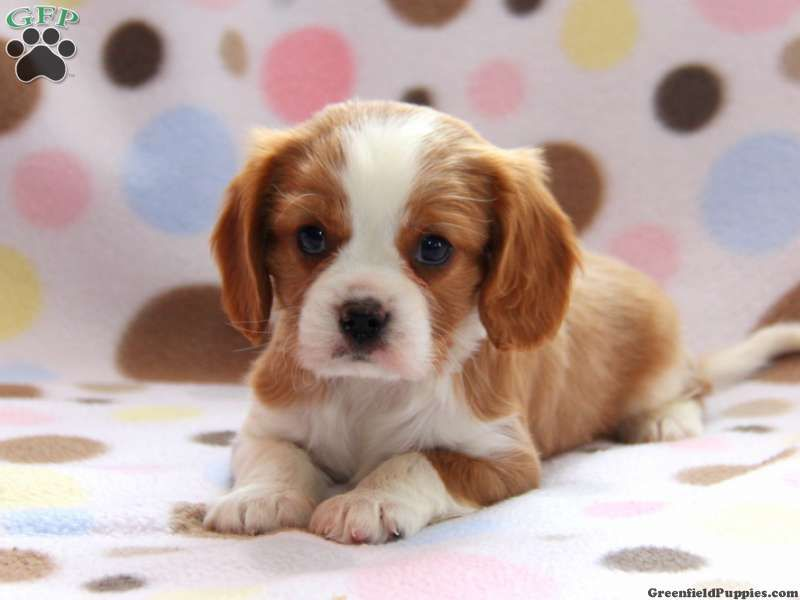 Cavalier King Charles Spaniel Puppies For Sale In Pittsburgh Pa 2021