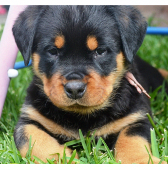 """Obtain excellent pointers on """"rottweiler pups"""". They are"""