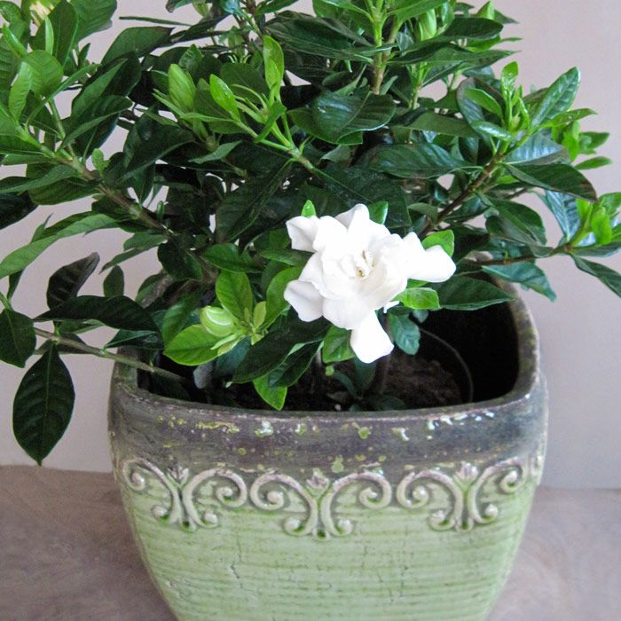gardenia in pot plants indoorpot plantsbed ideasflower - White Flowering House Plants