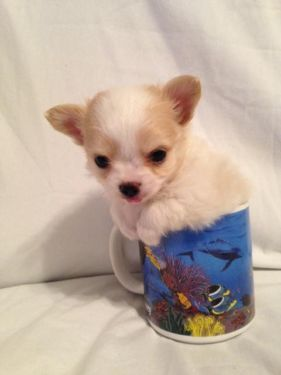 Chihuahua Akc Ckc Tiny White Fawn Long Hair Males Rowdy And Dusty