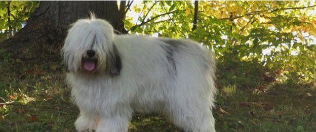 Breed Standard Breeds Polish Lowland Sheepdog