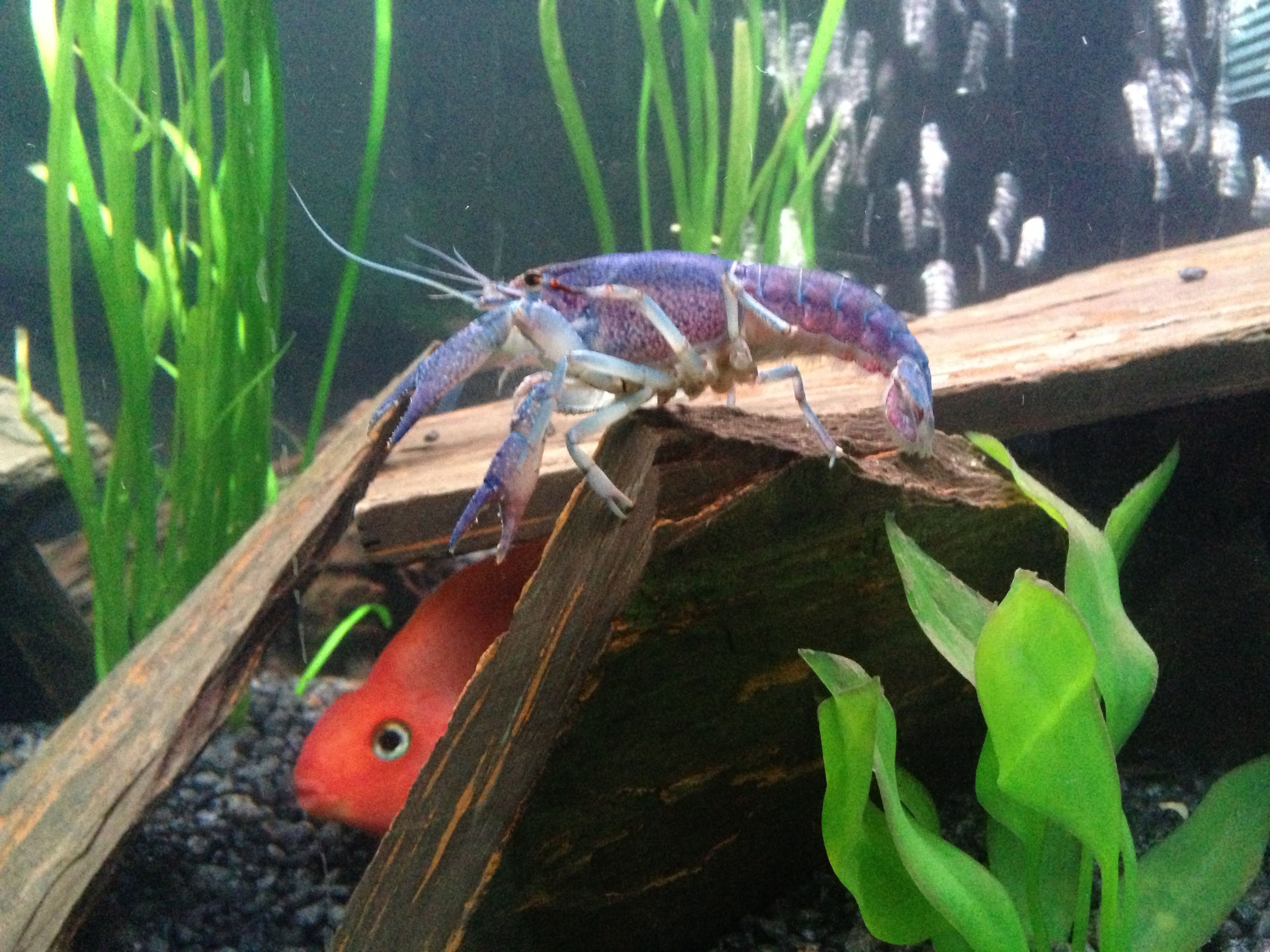 Electric Blue Crayfish with my Blood Parrot Cichlids
