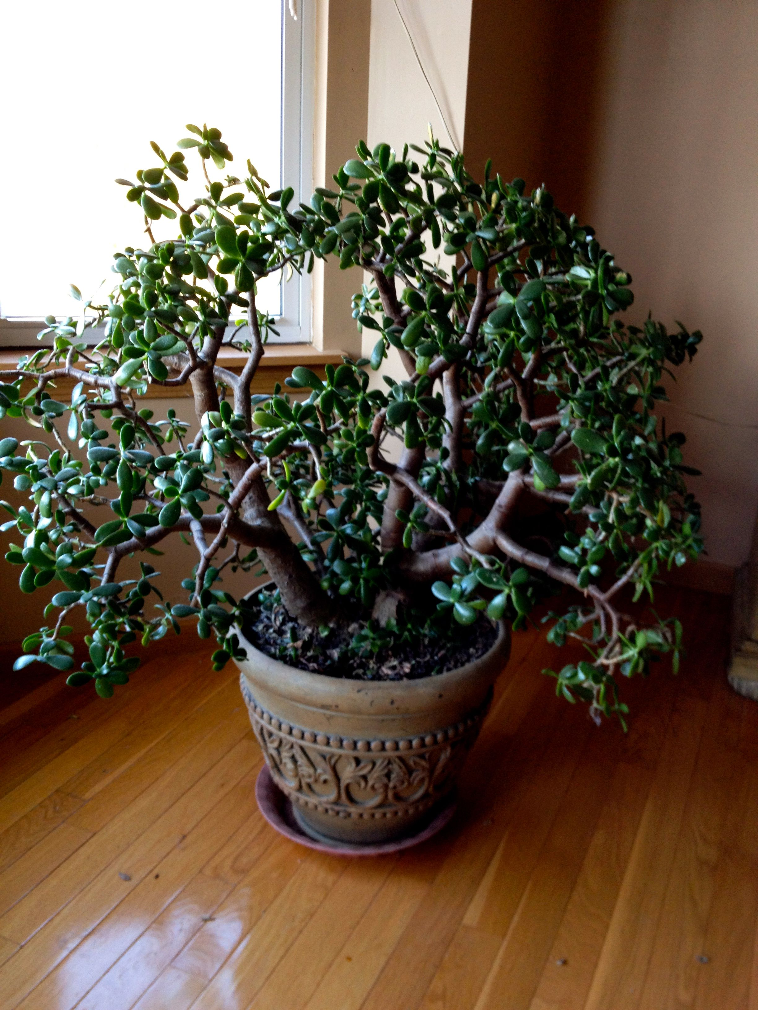 my jade plant I had in San Antonio grew to be about this big as well