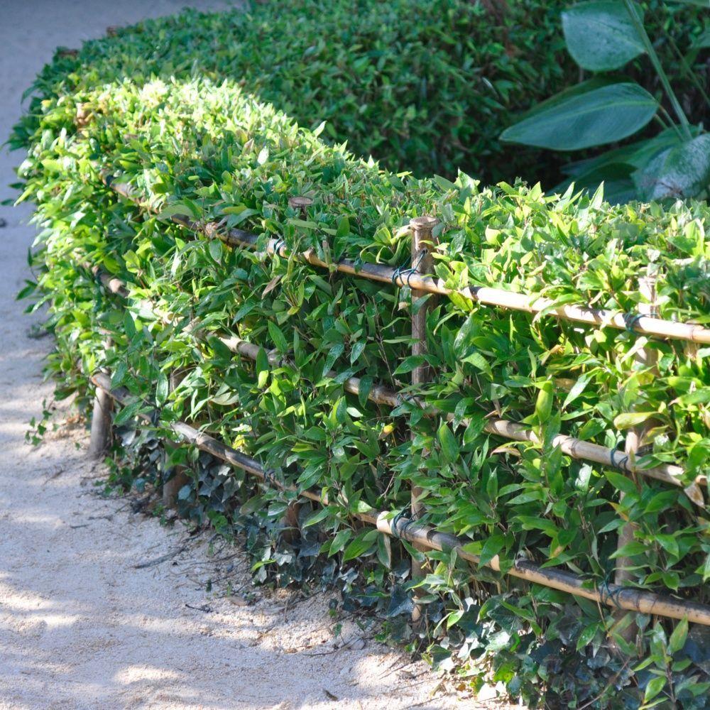 Contour De Balcon En Bambou bambou nain : shibataea kumasaca | arbuste pour balcon