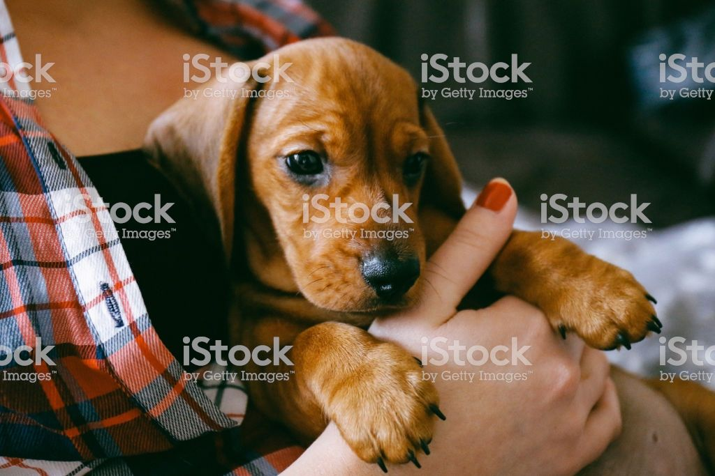 2 Months Old Dachshund Puppy Laying Comfortably In Hands Of Its